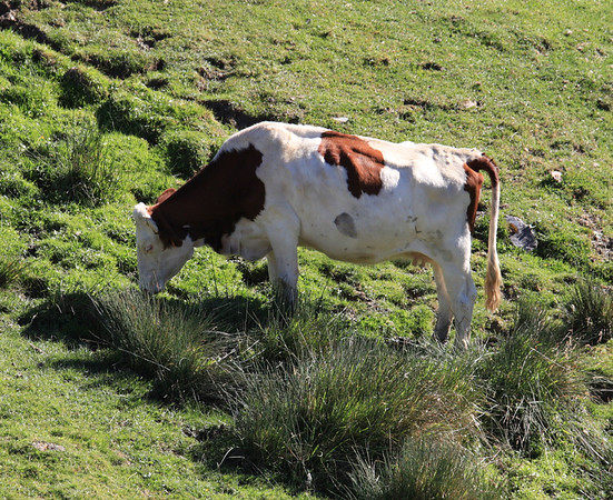 A cow grazing at the Col de Soulor, Pyrenees, France. Altitude: just under 1474 metres.