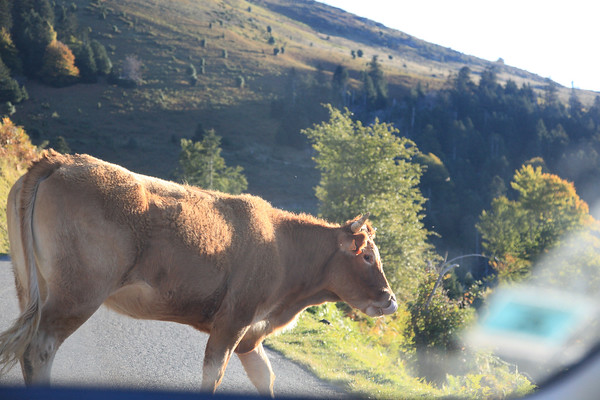 A cow, seen seconds after it had walked in front of our hire car, bringing us to a screaming halt. Seen through the windscreen. Col d'Aspin, Pyrenees, France.